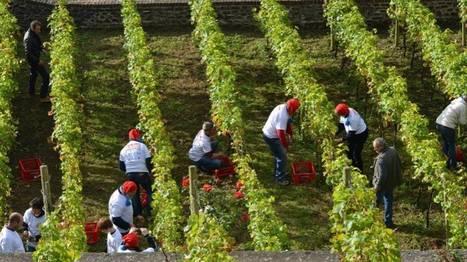 Les vendanges s'annoncent mauvaises dans les domaines viticoles wallons | Le vin quotidien | Scoop.it