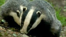 Badger cull 'cost £4,121 per animal' | #ASMIC | Scoop.it