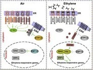Ethylene Signaling in Rice and Arabidopsis: Conserved and Diverged Aspects | PlantBioInnovation | Scoop.it