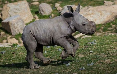 Fears for African rhino in China rainforest | Rhino poaching | Scoop.it