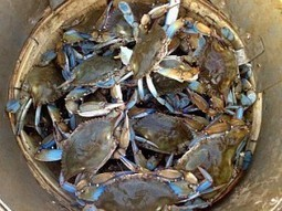 Another climate change warning, written in the shells of crabs   Wild Resiliency   Scoop.it