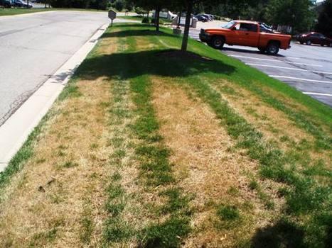 Is My Lawn Dormant or Dead? | Turf science | Scoop.it