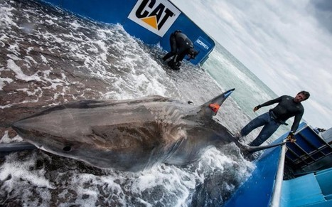 Great white sharks visit beaches more often than believed - Telegraph | All about water, the oceans, environmental issues | Scoop.it