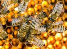 Honeybees Are Still Hurting, But Backyard (and Rooftop) Beekeepers Can Help | TIME.com | Sustain Our Earth | Scoop.it