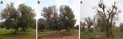 EJPP: The olive quick decline syndrome in south-east Italy: a threatening phytosanitary emergency (2015) | Effectors and Plant Immunity | Scoop.it