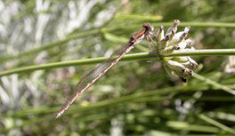 Un atlas des libellules en région PACA | Tourisme augmenté | Scoop.it