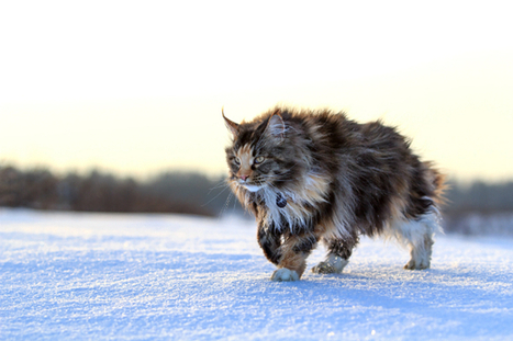 Get to Know the Maine Coon: A Gentle Giant Bred by Nature - Catster | Caring for Cats | Scoop.it