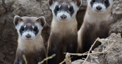 Drones to unleash vaccine-laced M&Ms over Montana to save struggling ferrets | Biodiversity protection | Scoop.it