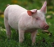 Study: Americans Eating Less Pork Due to Animal Welfare Concerns - MFA Blog | Animals R Us | Scoop.it