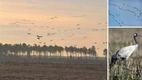 Grues Cendrées dans les Landes | Ecotourisme Landes de Gascogne | Scoop.it