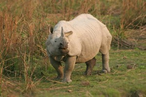 Camera Traps helping Catch Rhino Poachers « India's Endangered | What's Happening to Africa's Rhino? | Scoop.it