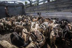 FAO -Nouvelles:Evaluer l'empreinte carbone générée par l'élevage de bétail   SCIENCES DE L'ANIMAL   Scoop.it