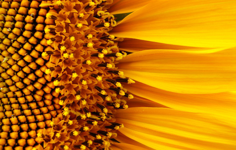 What's the Most Efficient Design For a Solar Collector? Shape It Like a Sunflower | Biomimicry | Scoop.it