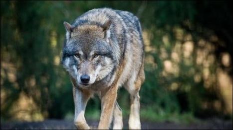 L'essentiel Online - Le Luxembourg se prépare au retour du loup - Luxembourg | animals rights and protection | Scoop.it