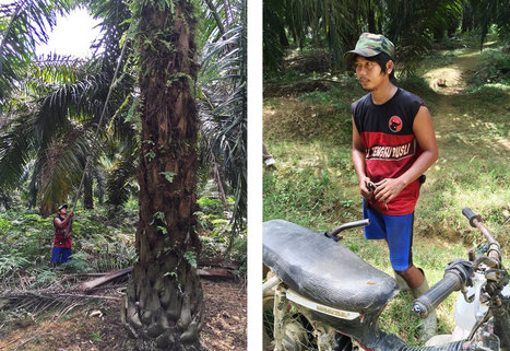 Palm Oil Plantations Are Blamed For Many Evils. But Change Is Coming | Edison High - AP Human Geography | Scoop.it