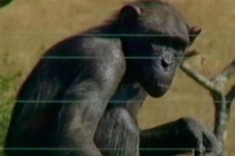 Piden que otorguen a chimpancés los mismos derechos que a los humanos | Comisión de Derechos Humanos-Consejo Regional Santiago | Scoop.it