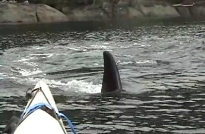 Des orques approchent un kayak de mer   Le kayak de mer   Scoop.it