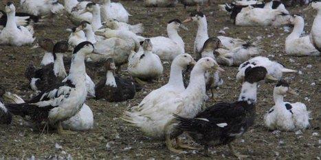 Dordogne : le Département au chevet de la filière palmipèdes malmenée par la grippe aviaire | Agriculture en Dordogne | Scoop.it