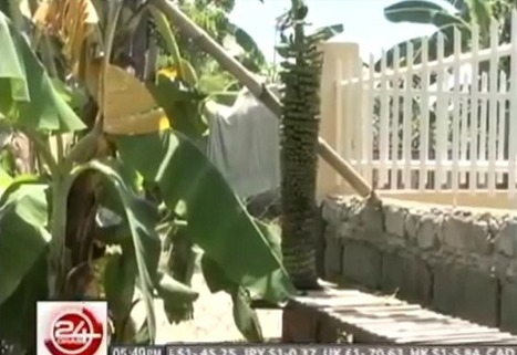 "WATCH: 'Amazing saging' trees in Pangasinan attracting passersby (""1000+ fruits per strand"") 