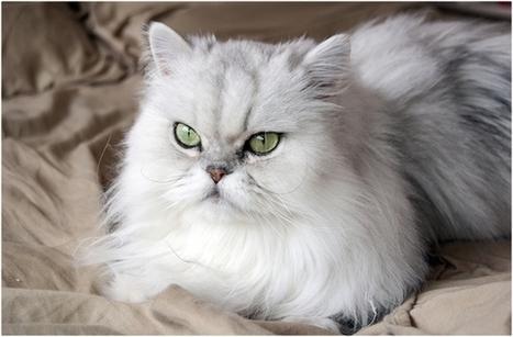 Jual Baju Kucing Lucu | Baju Kucing Anggora Persia dan Anak Kucing | Scoop.it