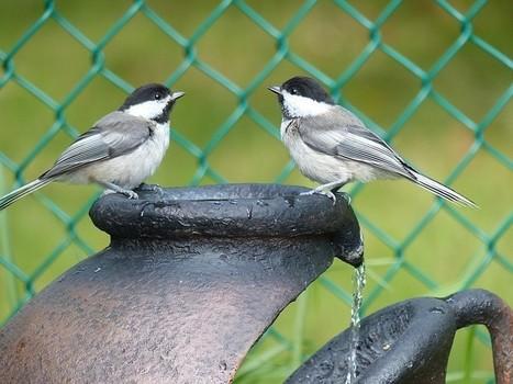 Photo d'oiseau : Mésange à tête noire - Poecile atricapillus - Black-capped chickadee | Fauna Free Pics - Public Domain - Photos gratuites d'animaux | Scoop.it