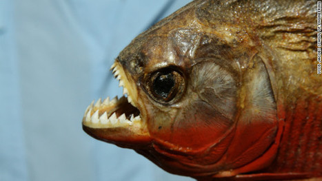 New York man pleads guilty to smuggling nearly 40,000 piranhas into the U.S. | All about water, the oceans, environmental issues | Scoop.it