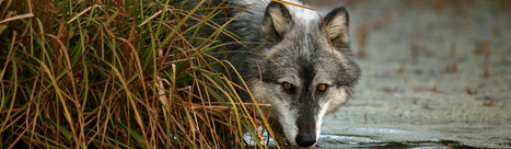 Speak for Wolves | GarryRogers NatCon News | Scoop.it