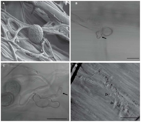 Frontiers | Effector candidates in the secretome of Piriformospora indica, a ubiquitous plant-associated fungus | MycorWeb Plant-Microbe Interactions | Scoop.it