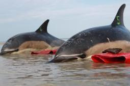 Dolphins beaching in record numbers on Cape Cod | PRI.ORG | Biology@BellaOnline | Scoop.it