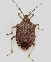 Stop Brown Marmorated Stink Bug  (website) | Effectors and Plant Immunity | Scoop.it