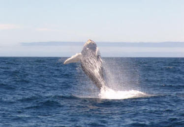 #Atlantic #Whales ~ #WhaleReports ~ Whale Report 5 | Rescue our Ocean's & it's species from Man's Pollution! | Scoop.it