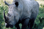 Kids campaign to save South Africa's rhinos from poaching | What's Happening to Africa's Rhino? | Scoop.it