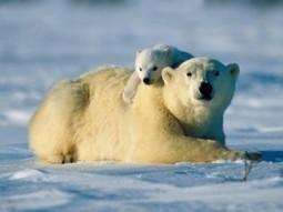 Polar bear conservation: the next 10 years | The SPPI Blog | Environmental Conservation & Sustainability | Scoop.it
