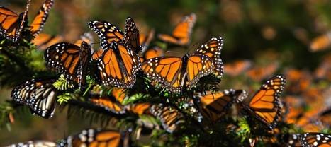 E.U. creará un corredor kilométrico para salvar a la Mariposa Monarca | Bichos en Clase | Scoop.it