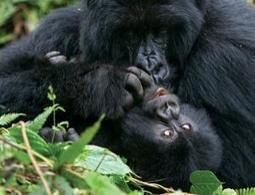 Goo-goo-gorillas have their own kind of baby talk | Social Foraging | Scoop.it