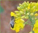 Apiculture : Épidémie chez les abeilles : chronique d'un échec   apis mellifera   Scoop.it
