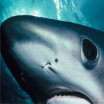 """HowStuffWorks """"How do sharks see, smell and hear?"""" 