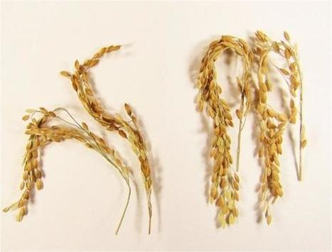 Tiny grains of rice hold big promise for greenhouse gas reductions, bioenergy | Erba Volant - Applied Plant Science | Scoop.it