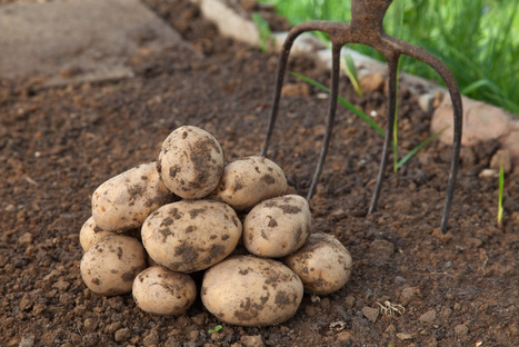 Mold responsible for Irish potato famine may be gone for good | Articles mentioning The Sainsbury Laboratory, Norwich | Scoop.it