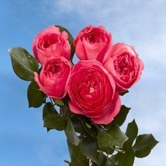 !@#   Garden Rose Baronesse 72 Roses Global Rose | Same Day Delivery Flowers | Scoop.it