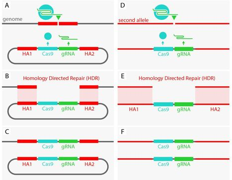 The mutagenic chain reaction: A method for converting heterozygous to homozygous mutations   Awesome Science That  I Like   Scoop.it