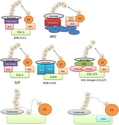 Frontiers   Role of Ubiquitin-Mediated Degradation System in Plant Biology   plant-pathogen interaction at the molecular level   Scoop.it