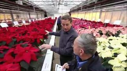 Poinsettia popularity contest a Christmas tradition | Christmas Trees and More | Scoop.it