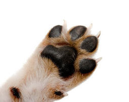 Paw Care: Taking Care of Your Dogs Feet | Coffee Puppy Photos, News & Resources | Scoop.it