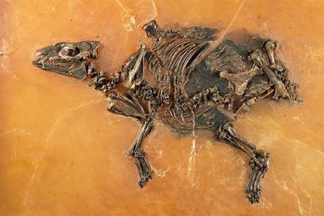 47-Million-Year-Old Fossil of Horse, Unborn Foal Unveiled  - NBC News | enjoy yourself | Scoop.it