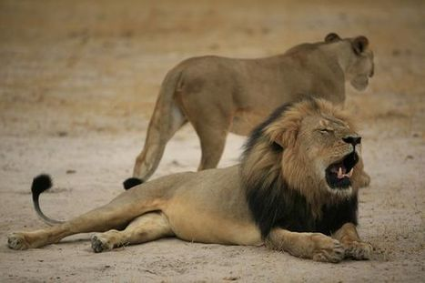 Hundreds of Cecil the lions could be killed after UK blocks hunting ban   Trophy Hunting: It's Impact on Wildlife and People   Scoop.it