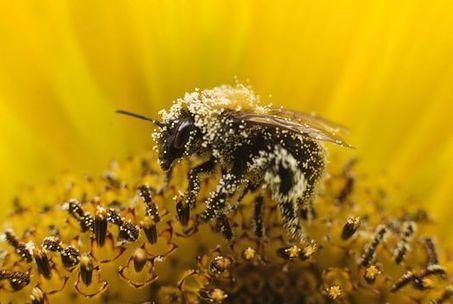 Abeilles et bourdons sont irrésistiblement attirés par les pesticides qui les tuent | EntomoNews | Scoop.it