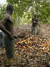 CÔTE D'IVOIRE: La fixation du prix du cacao bien accueillie par les planteurs | Banania Split | Scoop.it