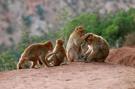Ook bij apen hebben middenkaders de grootste stress | Dat is hoe ik dat zie... | Scoop.it
