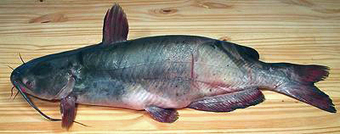 Catfish - Chef's Resources | The Industry of Hospitality | Scoop.it